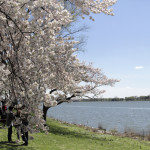Visiting Washington DC During Cherry Blossom Season