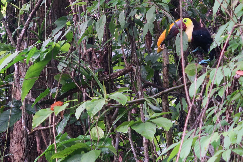manuel-antonio-toucan