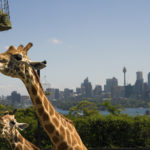 How to Have a Ripper of a Day at Sydney's Taronga Zoo